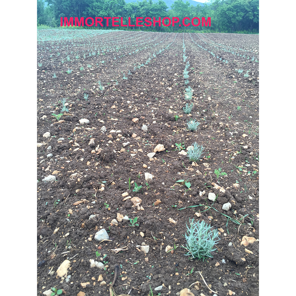 Young immortelle plants growing in the field.