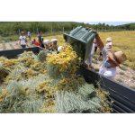 Harvesting helichrysum italicum immortelle flowers to produce essential oils.