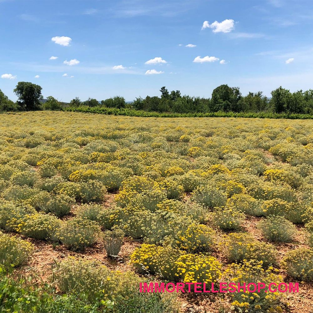 6 helichrysum-italicum-immortelle-smilje-seeds-for-planting-growing-immortelle-oil-who-to-instructions-essential-immortelleshop-smilje-smilje.hr-oils copy